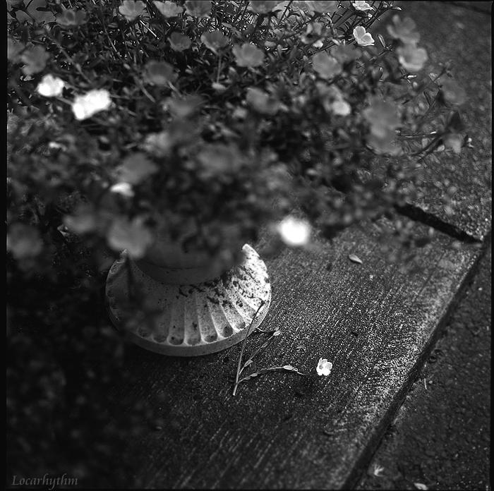 落ちた花.jpg